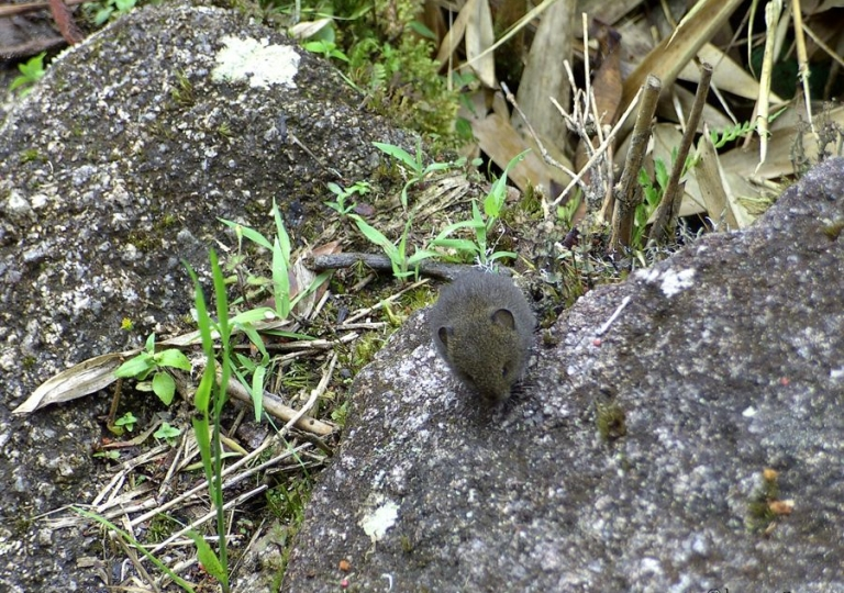 Native Mouse Peru
